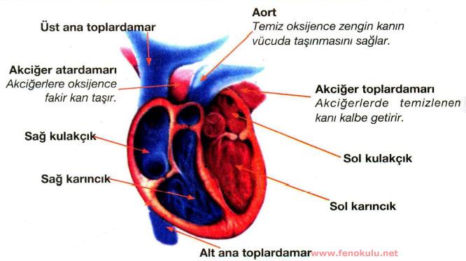KALBİMİZİN YAPISI VE İŞLEYİŞİ Kalp