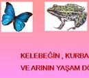 Kelebek , Kurbaga ve Arıların Yaşam döngüleri SUNU