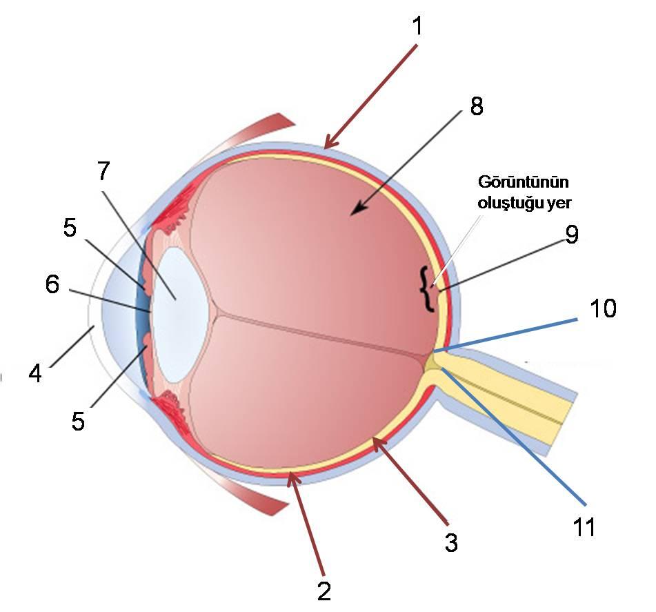 Duyu Organlarımızdan Göz ve Kulak