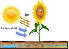 Fotosentez ve özellikleri