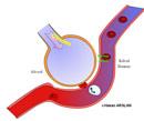 Alveol ve gaz alışverişi