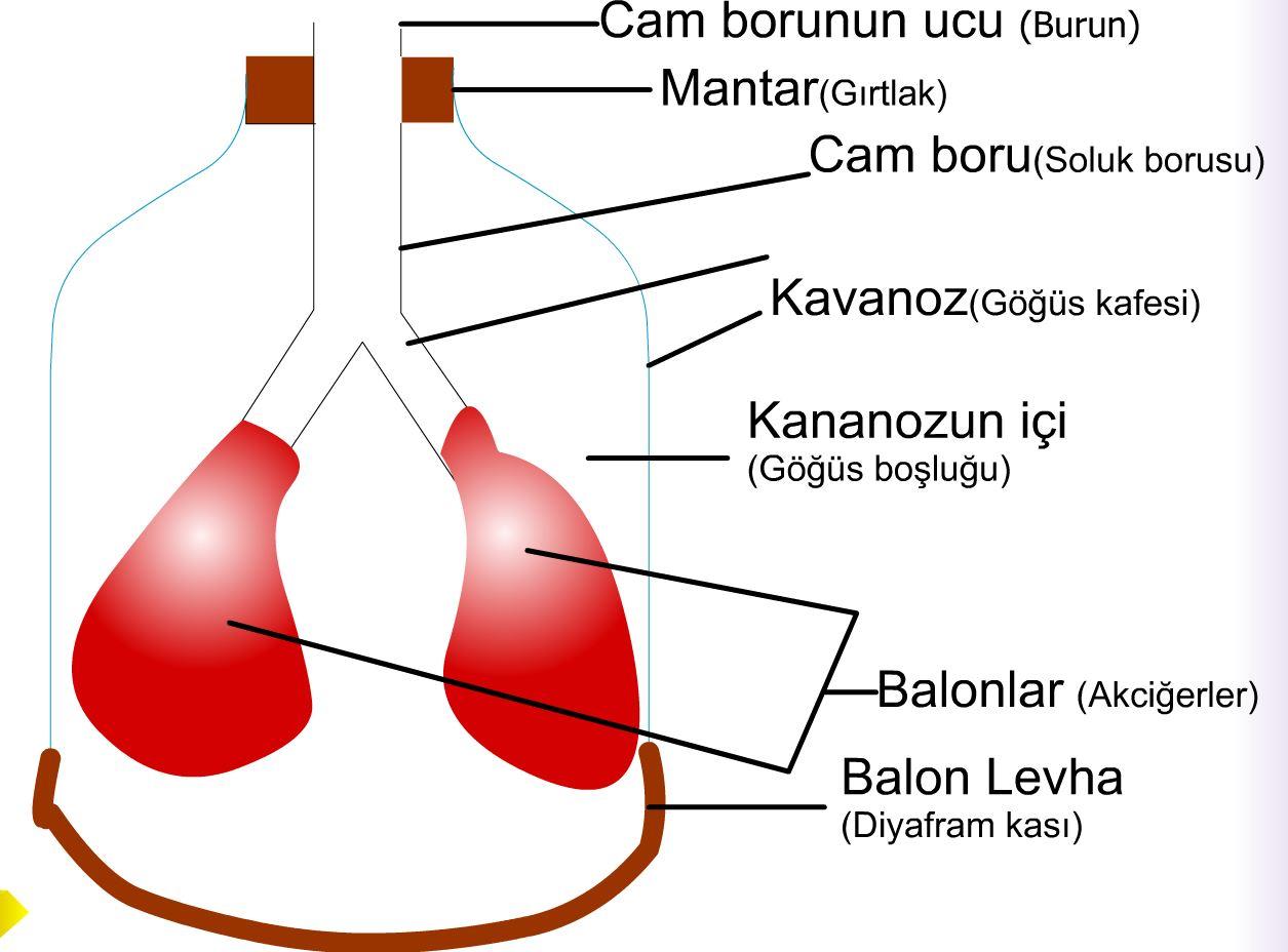 Solunum Sistemi  Modeli
