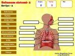 Solunum sistemi 2