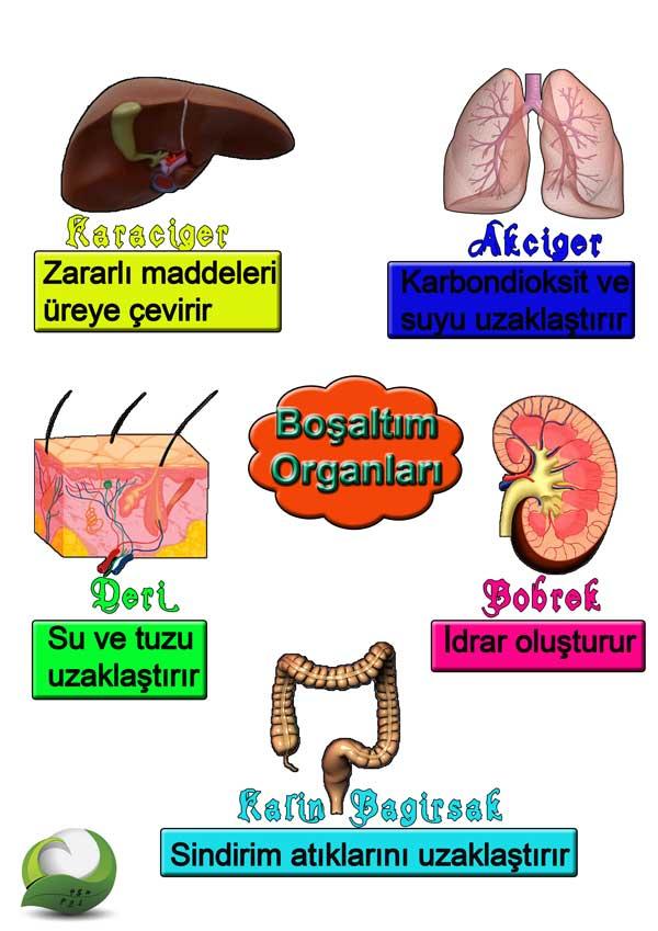 Boşaltım Organları