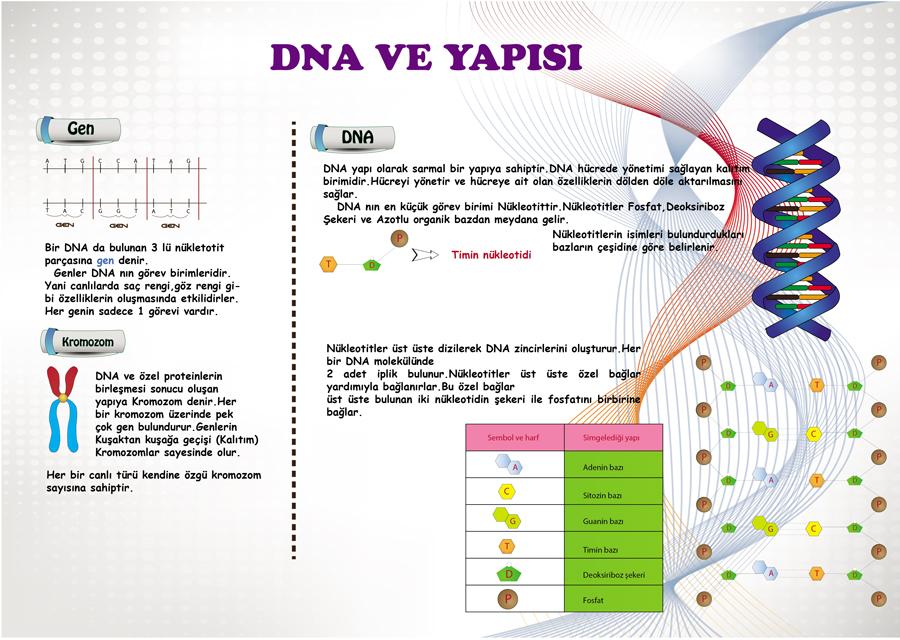 DNA n�n yap�s�