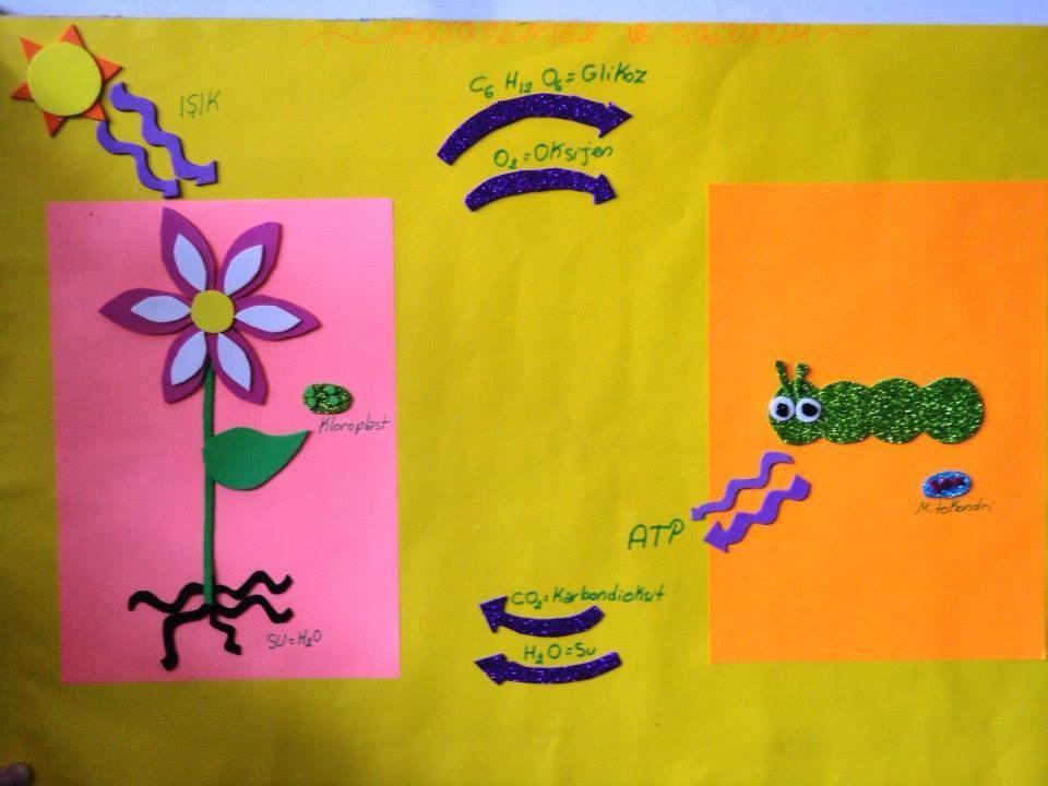 Fotosentez ve solunum 2