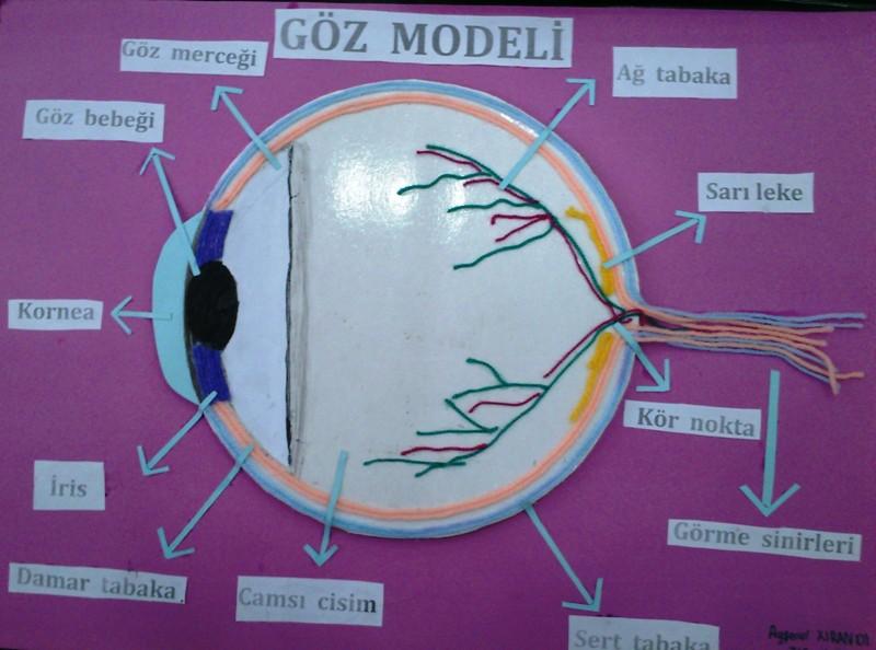 Göz Modeli 1
