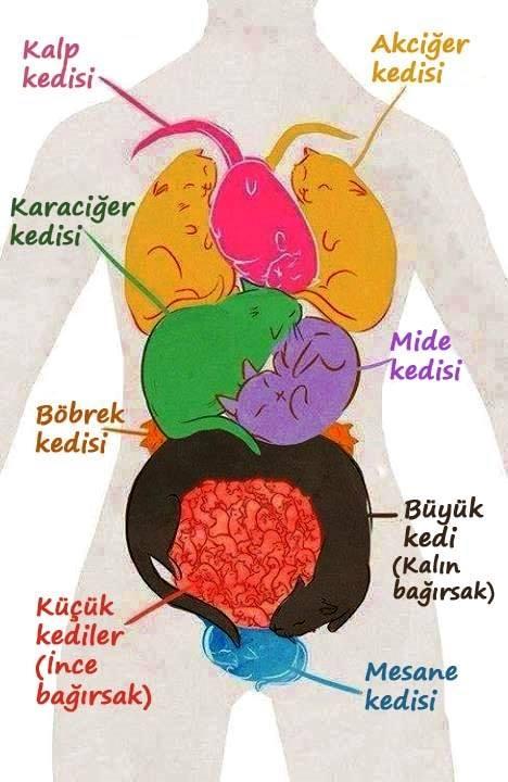 İç organlarımızı kedilere benzetirsek