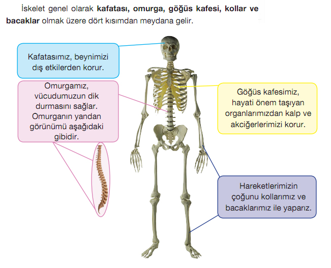 �skeletin g�rev ve b�l�mleri