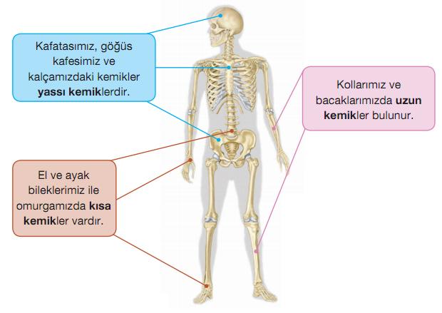 Kemik çeşitleri