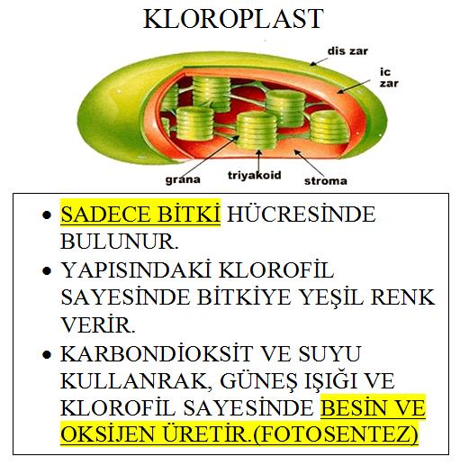 Kloroplast'ın görevi