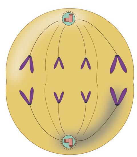 Mitoz Bölünme Evre 4