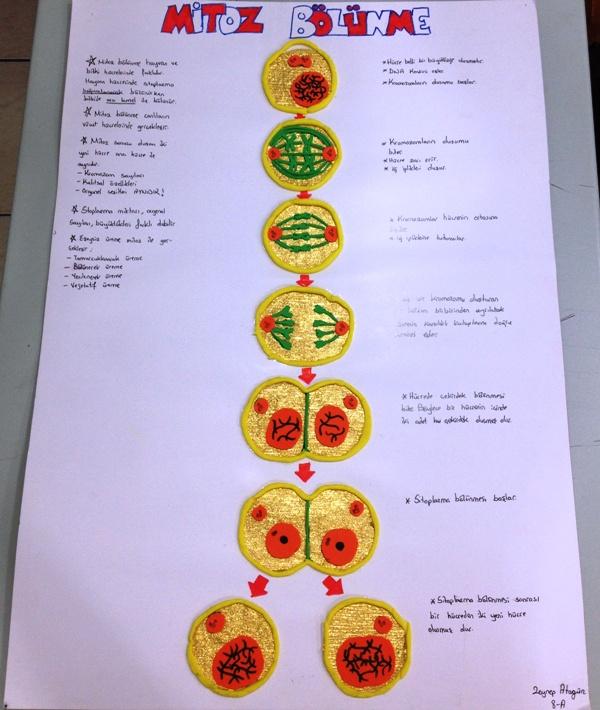 Mitoz Bölünme Şeması 2