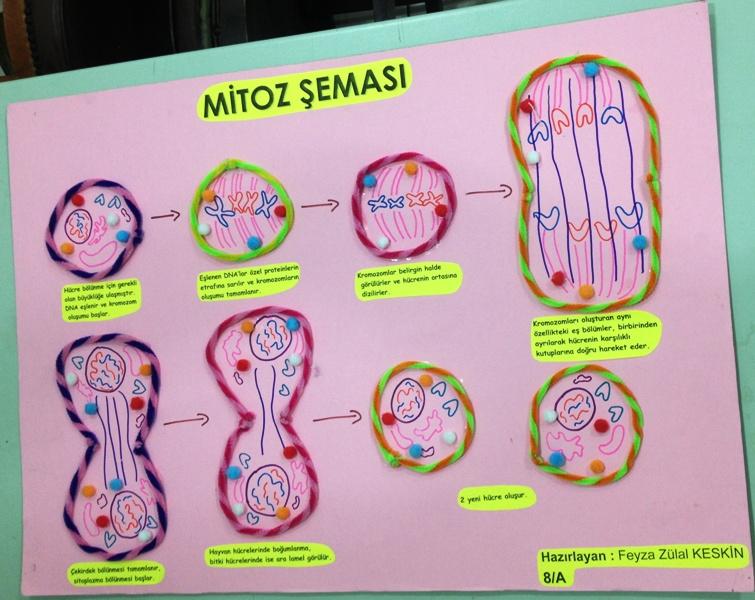Mitoz Bölünme Şeması 6