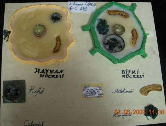 Bitki ve Hayvan Hücresi