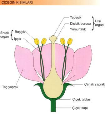 Bitkilerde Çiçeğin Kısımları
