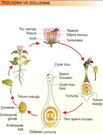 Bitkilerde Tozlaşma ve Döllenme
