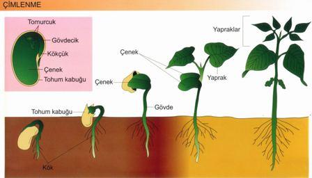 Bitkilerde Çimlenme