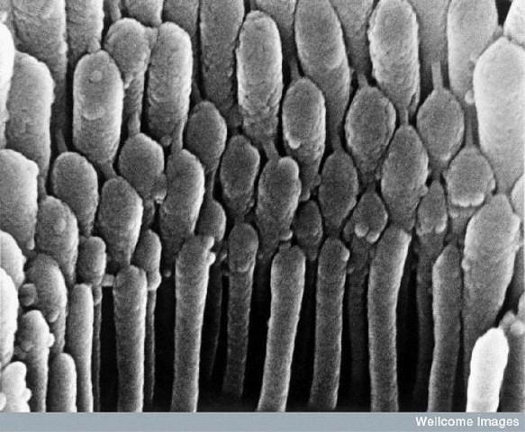 Kulak kıl Hücresi