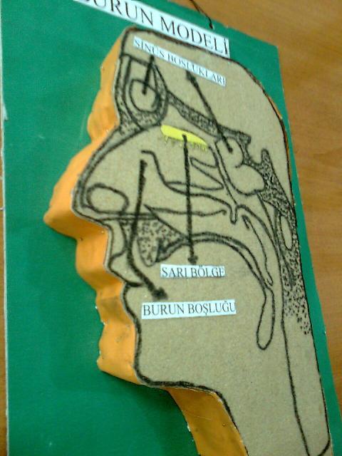 Burun Modeli