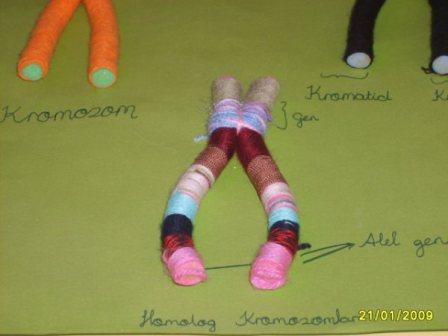 Homolog Kromozom