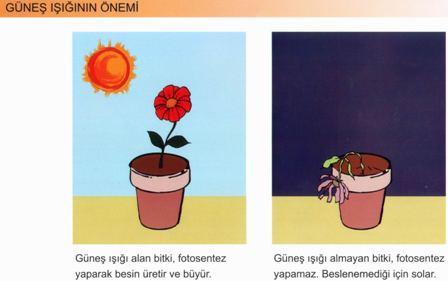 Bitkilerin Büyümesinde Güneş Işığının Önemi