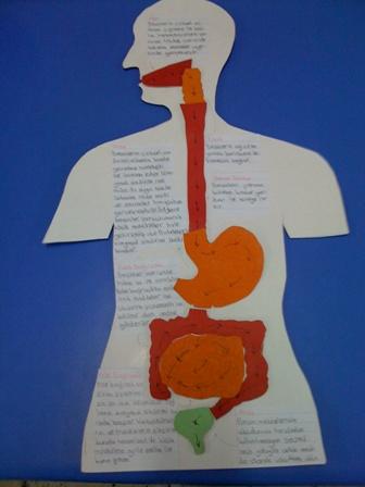 Sindirim Sistemi Organlar�