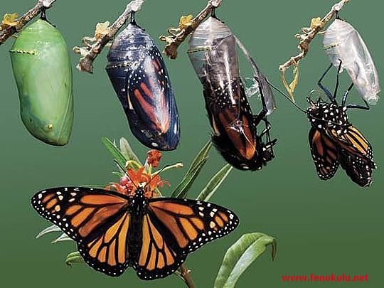 Kelebek de Başkalaşım Evreleri
