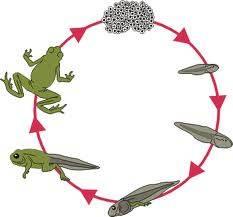 Kurbağada Başkalaşım Evreleri