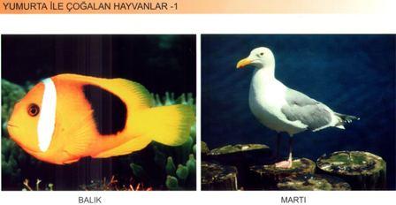 Yumurta İle Çoğalan Hayvanlar