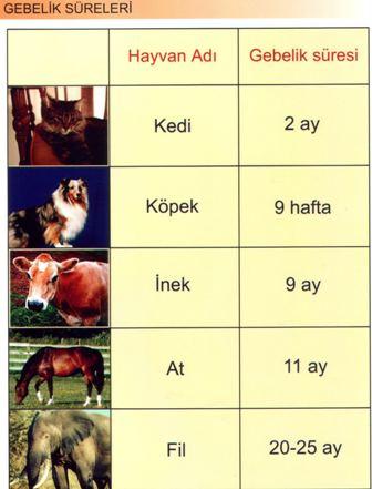 Hayvanların Gebelik Süreleri