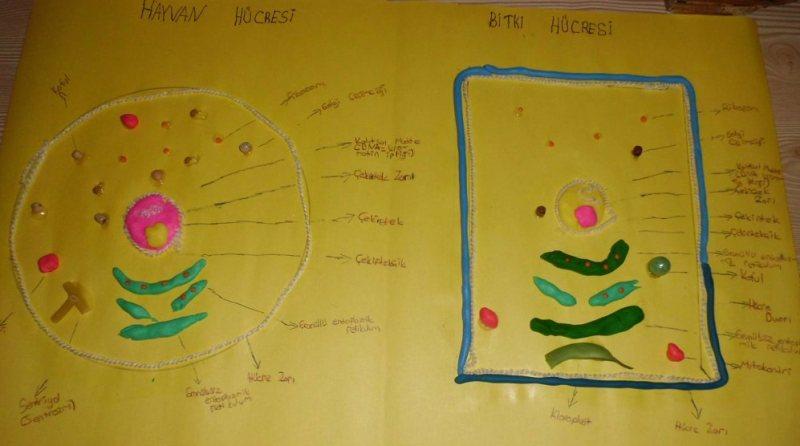 Hayvan ve bitki hücrelerini karşılaştırma