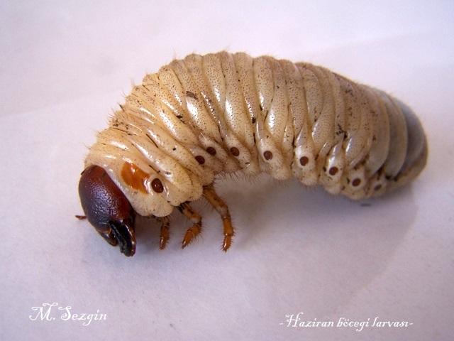 Başkalaşım geçiren Haziran Böceği Larvası