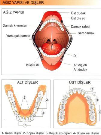 Sindirim Sistemi Ağız ve Dişlerin Yapısı