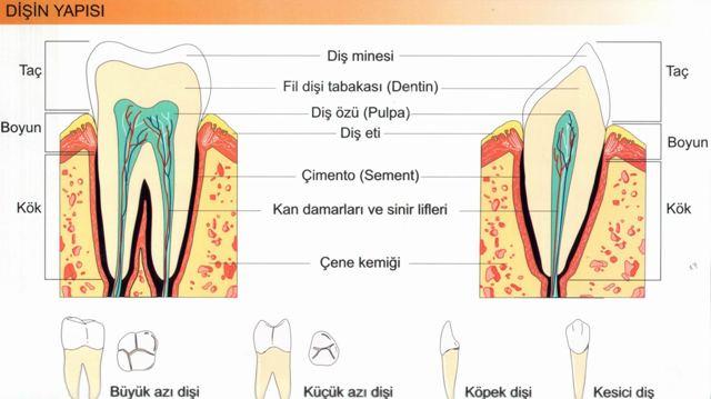 Sindirim Sistemi Dişler