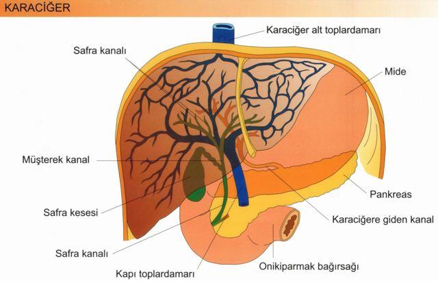 Sindirim Sistemi Karaciğer