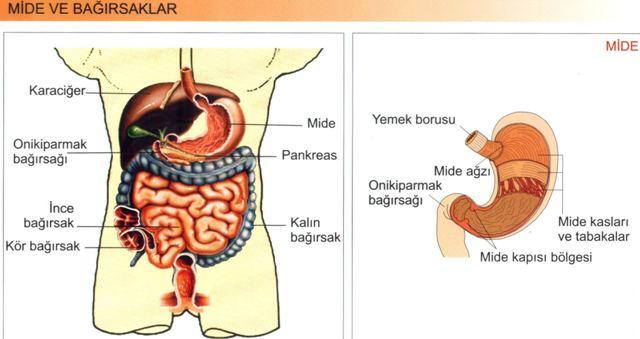 Sindirim Sistemi Mide Ve Bağırsaklar