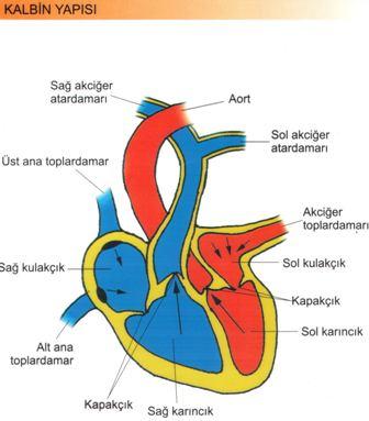 Dolaşım Sistemi Kalbin Yapısı