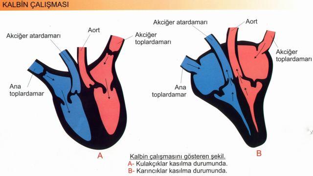 Dolaşım Sistemi Kalbin çalışması