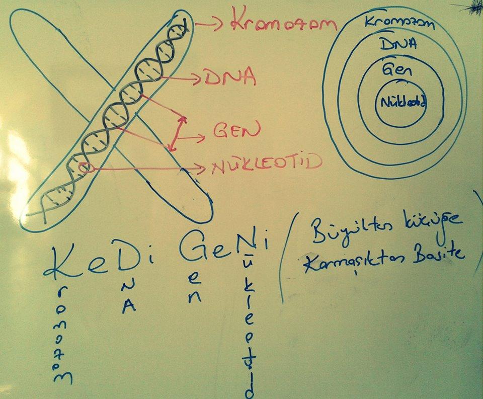 Kromozomdan Nükleotite...
