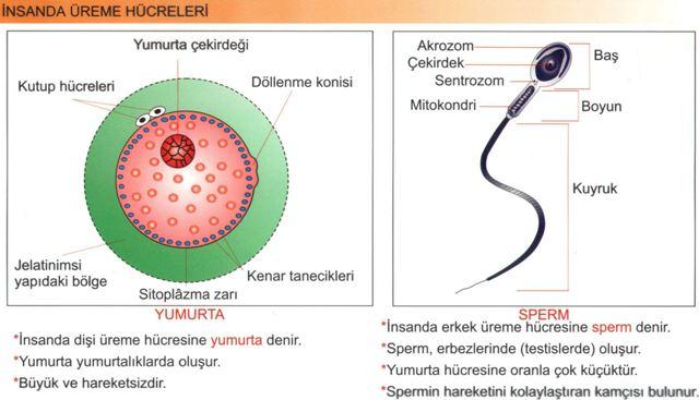 Eşeyli çoğalma Sperm ve Yumurta