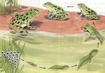 Kurbağa Başkalaşım