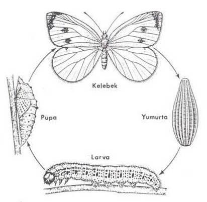 Kelebek Başkalaşım