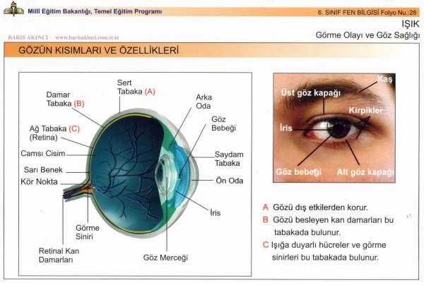 Gözün Kısımları