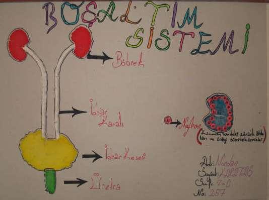 Boşaltım Sistemi Modeli