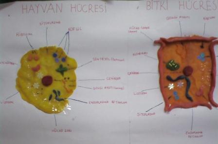 Hayvan Ve Bitki Hücrelerinin Karşılaştırılması