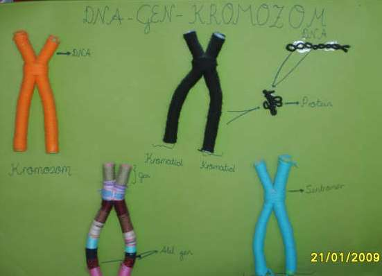 DNA Gen Ve Kromozom