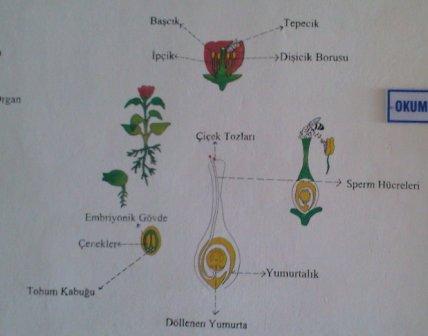 Bitkilerde Büyüme gelişme ve üreme