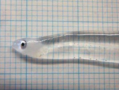 Şeffaf Mercek Balık