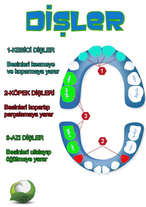 Diş Çesitleri